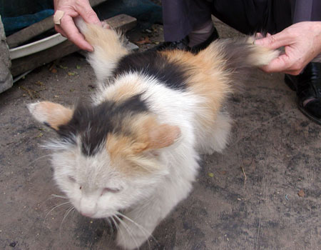 Calico cat with wings